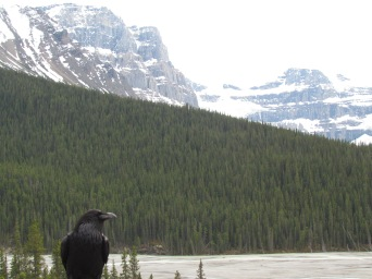 This raven was posing