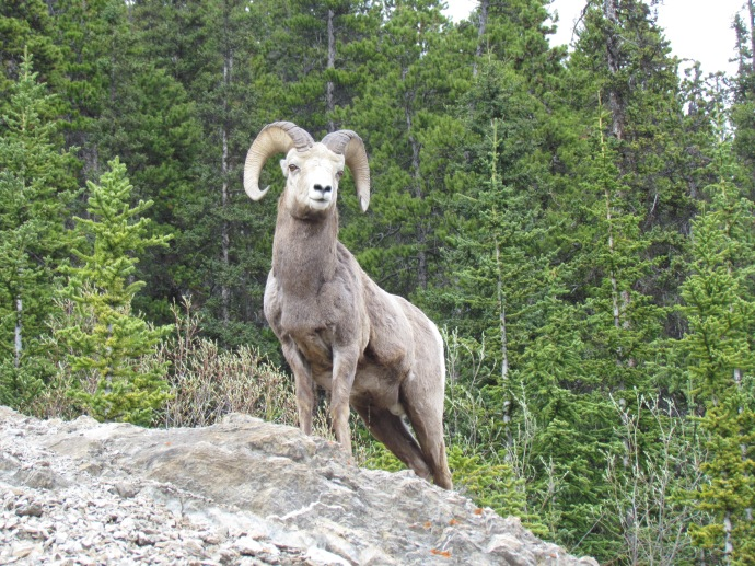 Regal big horn sheep