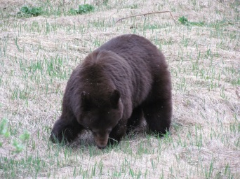 Mamma black bear