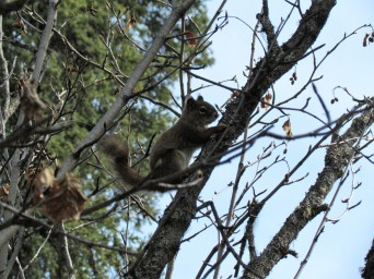 Friendly squirrel, Wrangell-St. Elias National Park
