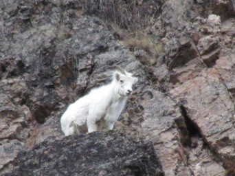 Dall sheep looking out over Nabesna, Alaska