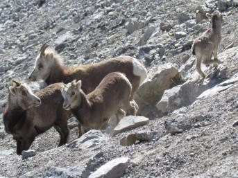 Stone's sheep family, Muskwa Ketchika, B.C.