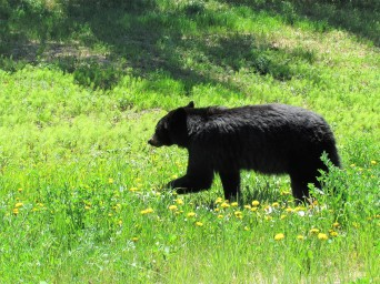 Yukon black bear