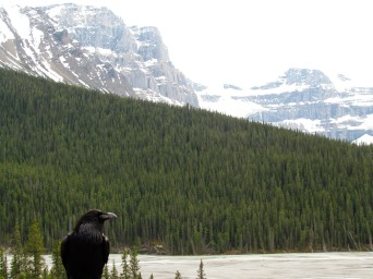 Raven posing on the Ice Field's Parkway
