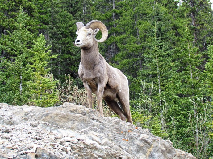 Stone's ram in British Columbia