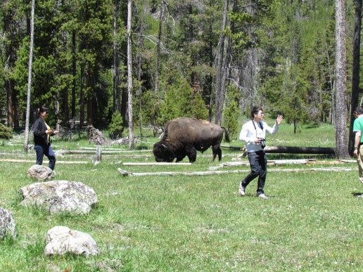 Tourists WAY too close to wild bison