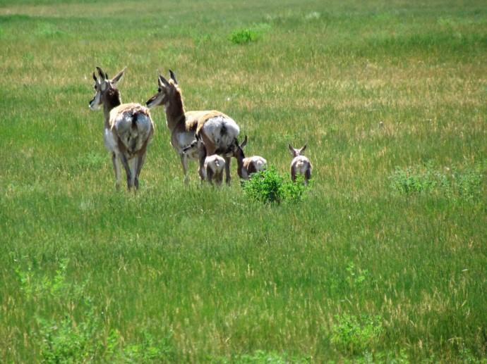 Pronghorn antelope, Jackson Wyoming