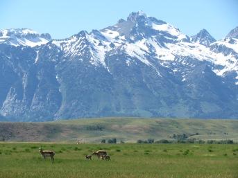 Antelope family, National Elk Refuge
