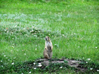 Prairie Dog, Wind Cave National Park