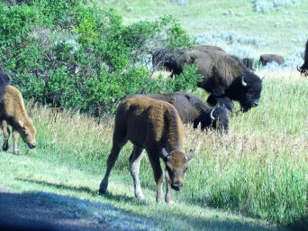 Young of the year bison, Theodore Roosevelt National Park