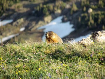 Curious Colorado marmot