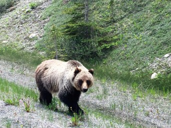 Brown bear in Kootenay National Park, B.C.