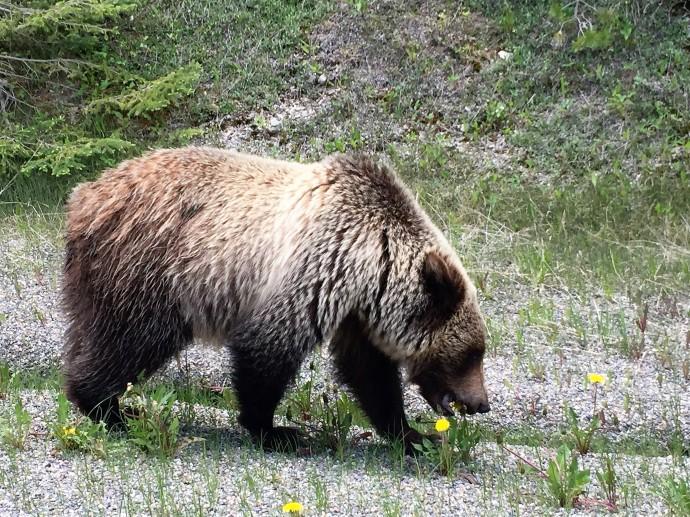 Dandelion eater, British Columbia