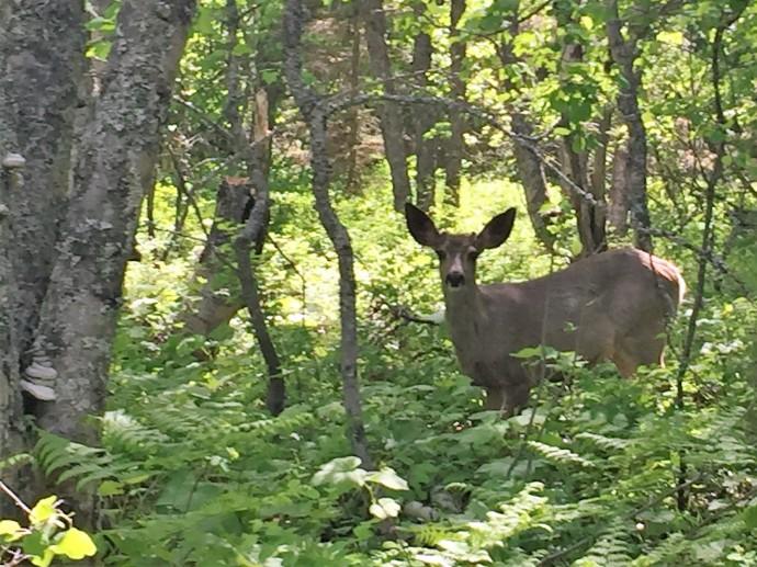 Mule deer, Glacier National Park