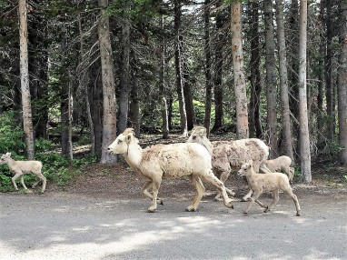 Bighorn sheep family, Montana