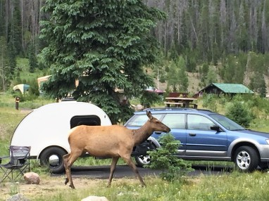 Elk cow the same size as the camper, Colorado